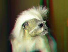 Pinché aap (Tamarin) Cotton-top monkey  NHM Roterdam 3D (wim hoppenbrouwers) Tags: pinché aap nhm roterdam 3d anaglyph stereo redcyan monkey animal stuffed pinchéaap tamarin cottontop
