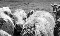 Teesdale . (wayman2011) Tags: colinhart fujifilm35mmf2lightroom5 fujifilmxt10 wayman2011 bw mono rural countryside cattle pennines dales teesdale countydurham uk