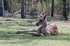 Eastern Grey Kangaroo (Alan Gutsell) Tags: wildlife nature australian eastern grey kangaroo easterngreykangaroo great macropus roo coombabah alan