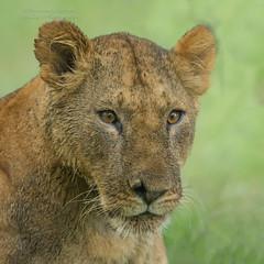 """Fig Tree Pride"" Cub - Panthera leo (rosebudl1959) Tags: 2018 kenya masaimara zebraplains talekriver figtreepride lion cub"