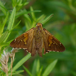 Silver-spotted Skipper thumbnail