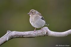 Fringuello _006 (Rolando CRINITI) Tags: fringuello uccelli uccello birds ornitologia montebaldo natura