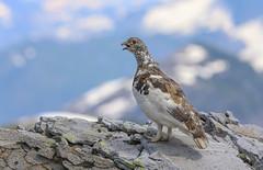 King of the Mountain--white tailed ptarmigan (Khanh B. Tran) Tags: