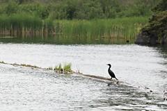 Blackbird Singing in the Dead of Night (Cindy's Here) Tags: blackbird kenora ontario canada canon blackbeauty sos smileonsaturday cormorant