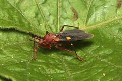 Hemiptera, Platymeris sp. (Giant Assassin Bug) - Entebbe, Uganda. (Nick Dean1) Tags: hemiptera animalia arthropoda arthropod hexapoda hexapod insect insecta platymeris assassinbug assassin bug entebbe uganda