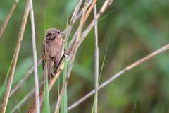 Great Reed Warbler (CJH Natural) Tags: greatreedwarbler drosselrohrsänger acrocephalusarundinaceus bird bill vögel reed wildlife marshland