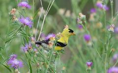 American Goldfinch( male)_1127 (tevfikyildiz) Tags: bird birds biring oiseau oiseaux americangoldfinch kuslar kuş 150600mm pentaxk3 macro 5300