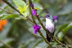 DSC_7205.jpg (Augusto Ilian G) Tags: amaziliafranciae andeanemerald amaziliaandina