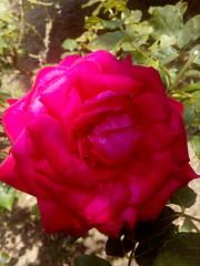 #macro #macrophotography #cercatore #fiori #natura #nature #huawei #huaweiy5 #flowers #flowerstagram #flowersinstagram #fleurs #picoftheday #photooftheday #red  #rose #redroses (Cercatore) Tags: picoftheday redroses flowerstagram macrophotography macro huaweiy5 red nature rose fleurs huawei fiori photooftheday natura flowersinstagram flowers cercatore