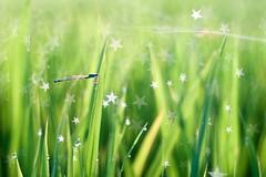DSCF0761 Rice Field (Star Bokeh) (Keishi Etoh rough-and-ready photoglaph) Tags: fujifilm xt1 fujifilmxt1 apsc thenewpetzval58bokehcontrolartlens11958mm petzval 87mm mf manualfocuslens primelens fixedfocallengthlens nf nikonf 単焦点 中望遠 zenit