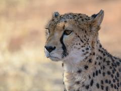 The Gaze (ttarpd) Tags: republic namibia southern subsaharan africa safari nature wild wildlife cheetah conservation fund otjiwarongo large cat felinae acinonyx jubatus internationalcatday