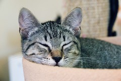 Cats 89180021 (Phil Rose) Tags: feline whatcomehumanesociety fauna cat cats whs