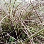 Bunch grass (Nolina texana) thumbnail
