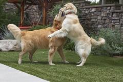 Boys at play (Karon Elliott Edleson) Tags: 7dwf sundaysfauna goldens goldenretrievers canines playtime companions