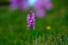 Orchidée dans les Pyrénées (jpto_55) Tags: fleur orchidée proxi bokeh xe1 fuji fujifilm om50mmf2macro hautegaronne france pyrénées