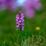 Orchidée dans les Pyrénées thumbnail