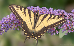 Eastern Tiger Swallowtail (Papilio glaucus) (ER Post) Tags: butterfly easterntigerswallowtailpapilioglaucus insect swallowtail