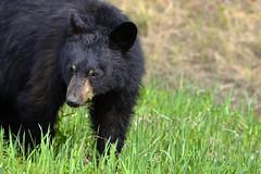 American Black Bear (Ursus Americanus), Alaska Highway  -  (Selected by GETTY IMAGES) (DESPITE STRAIGHT LINES) Tags: nikon d800 nikond800 nikkor200500mm nikon200500mm nikongp1 paulwilliams despitestraightlines flickr gettyimages getty gettyimagesesp despitestraightlinesatgettyimages bear blackbear adultblackbear wildanimal wildbear claws paw paws fur nature mothernature ursusamericanus animalia carnivora prophetriver muskwa
