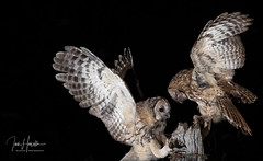 Tawny Owl (Ian howells wildlife photography) Tags: ianhowells ianhowellswildlifephotography nature naturephotography nationalgeographic night unitedkingdom canon canonuk wildlife wildlifephotography wales wild wildbird wildbirds tawnyowl tawny owl owlet