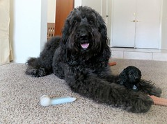 Eye Contact! (Bennilover) Tags: labradoodle benni figurine bb babybenni dogs posing jealous goodies photoop chews toys sharing explore