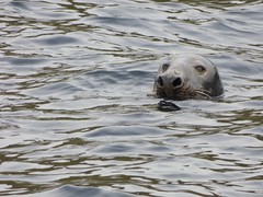 Seal (LouisaHocking) Tags: giants causeway northern ireland coast beach sea seaside seal mammal
