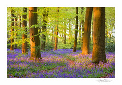 Bluebells at Sunset (George-Edwards) Tags: bluebells spring landscape wood woodland forest trees trunks beech nature wildlife blue sun sunset light shadow leaves path track wild flowers copse countryside rural outdoor seasons evening dusk berkshire northwessexdowns aonb england georgeedwards