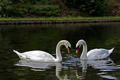 Swans (RevCheck Photography) Tags: river water outdoor colour white green nature outside animal bird swan natural beauty elegant