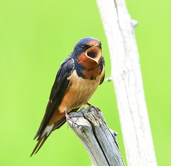 Barn Swallow Singing (KoolPix) Tags: swallow barnswallow singing birdsinging bird beak feathers branch koolpix jaykoolpix naturephotography nature wildlife wildlifephotos naturephotos naturephotographer animalphotographer wcswebsite nationalgeographic fantasticnature amazingnature wonderfulbirdphotos animal amazingwildlifephotos fantasticnaturephotos incrediblenature wildlifephotography wildlifephotographer mothernature