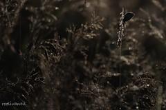 Silhouette butterfly (roelivtil) Tags: bokeh commonblue monochrome silhouette zwartwit monochromebokehthursday 7dwf