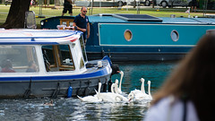 Follow that boat (Avon swans) (Dave_A_2007) Tags: bird nature swan wildlife stratforduponavon warwickshire england