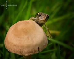 A fun guy on a fungi (John Chorley) Tags: johnchorley outdoor frog froglet fungi 2018 macro closeup nature garden wildlife