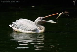 Rosapelikan - Great white pelican