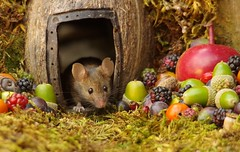 wild house mouse in log pile  with fruits and berry's (9) (Simon Dell Photography) Tags: wild george log pile house mouse nature garden animal rodent cute fun funny summer fruits berries berrys display lots bounty moss covered simon dell photography sheffield 2018 aug cool awesome countryfile ears close up high detail cards design