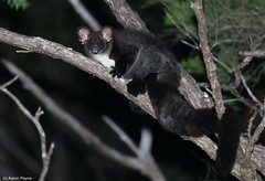 Southern Greater Glider (Petauroides volans) (Heleioporus) Tags: southern greater glider petauroides volans new england region south wales