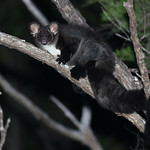 Southern Greater Glider (Petauroides volans) thumbnail