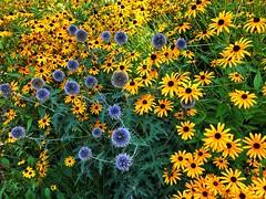 suns and moons (m_big_b) Tags: garden summer flower 7dwf