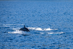 Spinner Dolphins – Stenella Longirostris 3142 (Ursula in Aus - Travelling) Tags: jimclinephototour milnebay png papuanewguinea tawali
