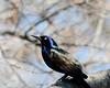 CommonGrackle (justkim1106) Tags: bird grackle blackbird commongrackle iridescence feathers bokeh naturebokeh beyondbokeh wildlife backyardwildlife