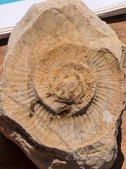 Ammonites (Joaquim F. P.) Tags: rocacalcárea molusco joaquimfp tarragona fósil geología costadaurada capsalou geozona cefalópodo catalunya negativo molde jurásico mesozoico ammonoidea muestras fauna extinguido geo ammonites roca españa salou bioblitz 2018 jurassic geology rocks rocas josepbioscaichn panasonic fz300 lumix leica dc varioelmarit zoom lens fossil tarragonès mediterranean golden coast mollusca cephalopoda mollusk