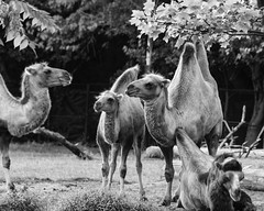 casual conversation at the Detroit Zoo (TAC.Photography) Tags: camels nature zoo detroitzoo humorous monochrome bw blackandwhite 2018yip