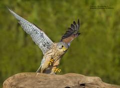 Cernícalo común macho (Falco tinnunculus) (leoncio.hernandezrodriguez) Tags: cernícalocomúnmachofalcotinnunculus sevilla andalucía españa