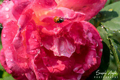_DSC2865 (Simply Angle) Tags: sony sonyphotography sonyphotographing sonya7ii flowers manitopark spokane spokanewa sunlight outdoors sunny bright colorful colors fe90mmf28macrogoss macro closeup droplets water droplet bokeh bug insect bee honey pollen