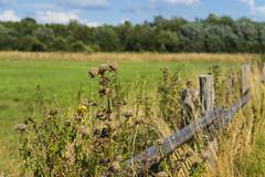 Münster 10082018 057 (Dirk Buse) Tags: münster nordrheinwestfalen deutschland deu nrw rieselfelder natur naturschutz flora perspektive mft m43 mu43 outdoor germany nature