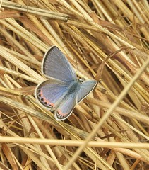 """Acmon Blue Butterfly, """"California male"""". (Ruby 2417) Tags: acmon blue butterfly insect wildlife nature grass marin tennessee california"""