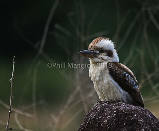 The laughing Kookaburra. Photographed south of Cairns, northern Queensland Australia