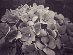 Today's flowers (LUMEN SCRIPT) Tags: petals macro peace nature plant flower monochrome closeup close perspective artistic