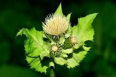 OSTROŻEŃ WARZYWNY (Cirsium oleraceum) 1 (goolary) Tags: flowers beskidy kwiaty przyroda góry