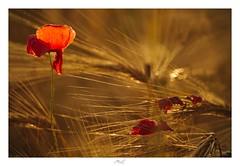 Volatileness (Max Angelsburger) Tags: corn crop ernte harvest getreide weizen golden light soft beautiful dreamy bokeh glow macro grass poppy blossom