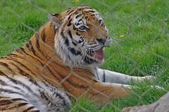 648-45L (Lozarithm) Tags: marwell flickrbigcats bigcats tigers kx sigma 70300 sigmaaf70300mmf456apodgmacro justpentax