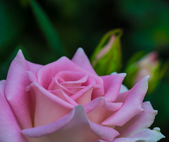 Macro Pink. (Omygodtom) Tags: macro tamron90mm flower flora outside lowkey d7100 dof bokeh plant oregon abstract augest soft